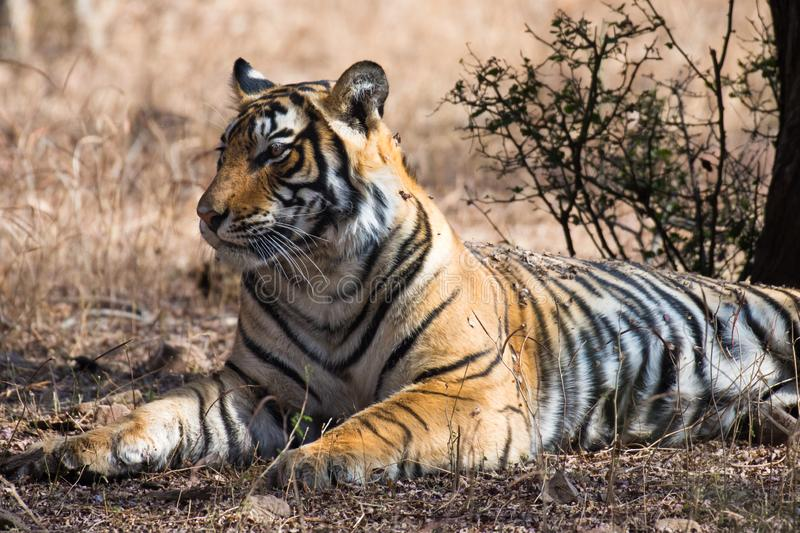 Bengal tiger Panthera tigris tigris relaxing on dry grass wildlife shot royalty free stock images