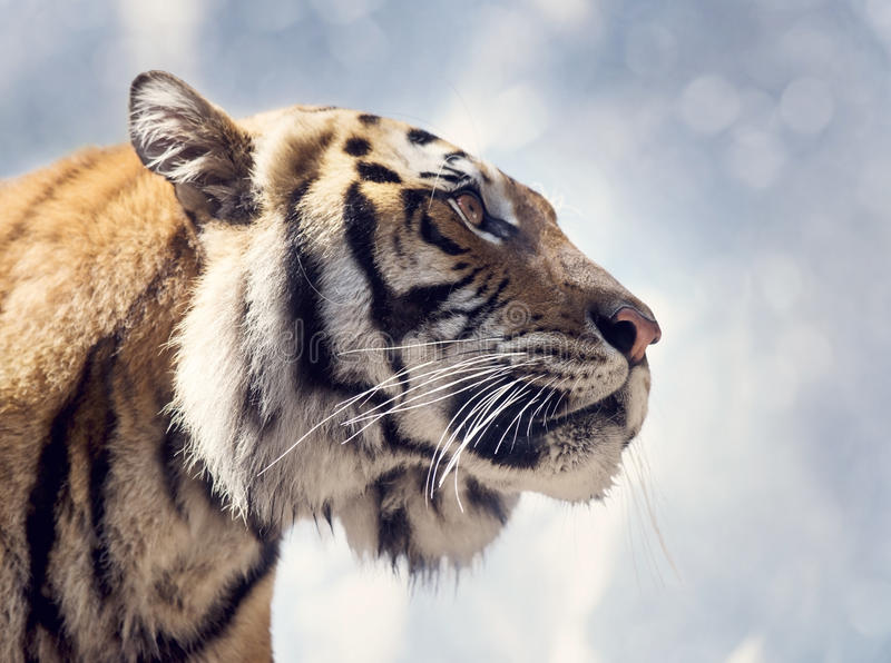 Bengal Tiger Portrait. Against a Sky stock photography