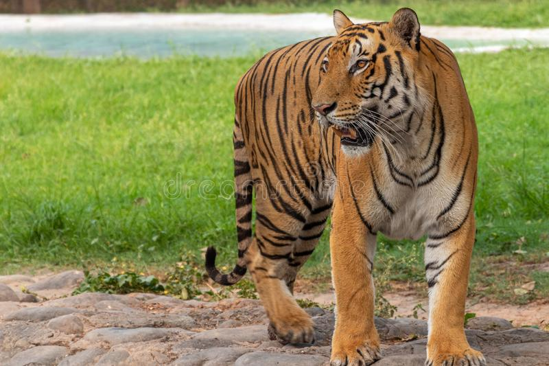 Royal Bengal Tiger Portrait. Bengal Tiger Portrait , Looking into the distance stock images