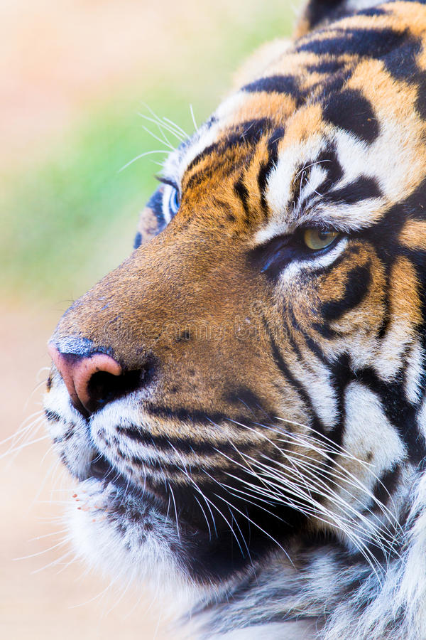 Bengal Tiger portrait. In vertical photograph royalty free stock images