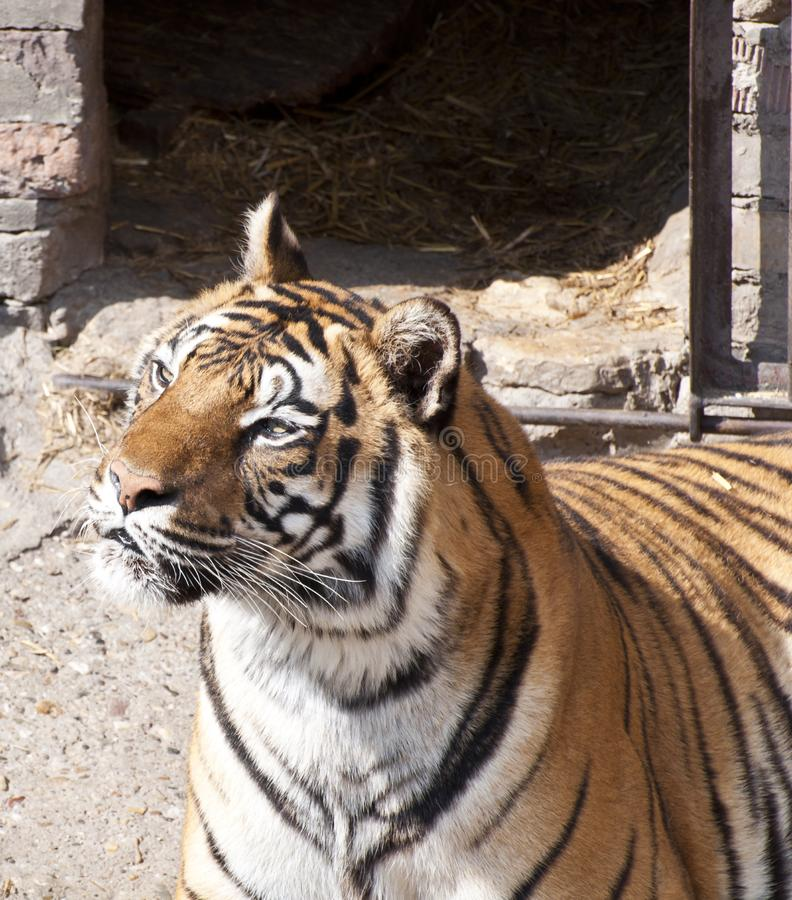 Bengal tiger profile royalty free stock photo