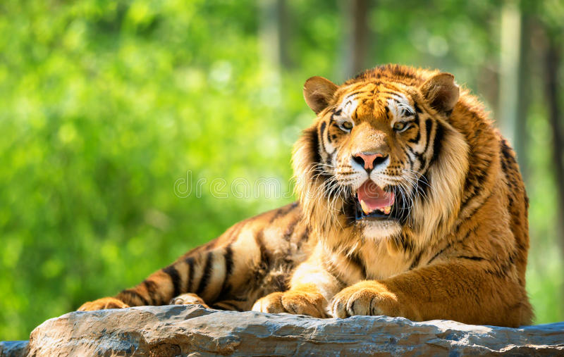 Bengal Tiger. Rest on stone in forest stock image