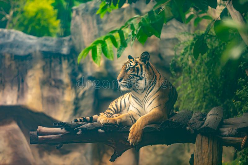 Bengal tiger resting in forest. Bengal tiger resting in the forest stock photos