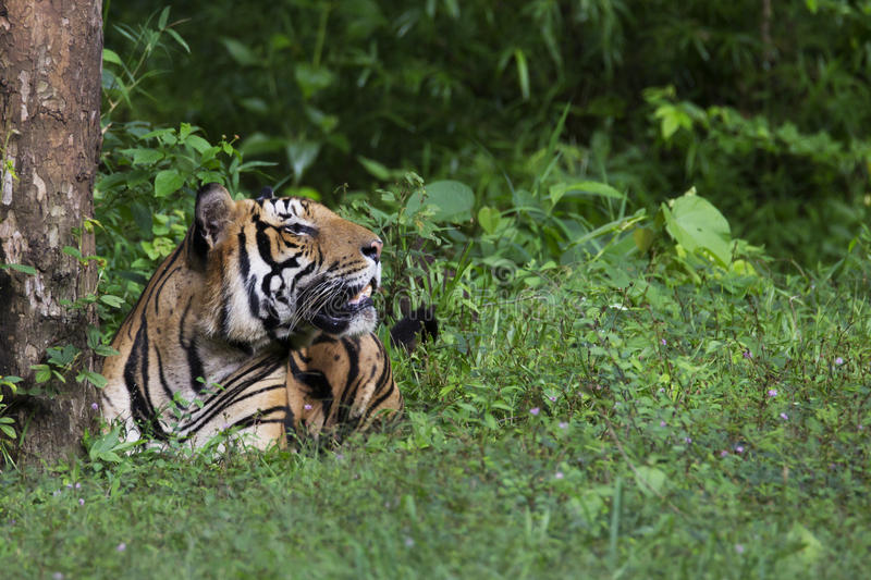 Bengal tiger sitting in rainforest. Bengal tiger the largest of all cats in India is seen sitting in forest on a rainy day in evergreen forest stock photo