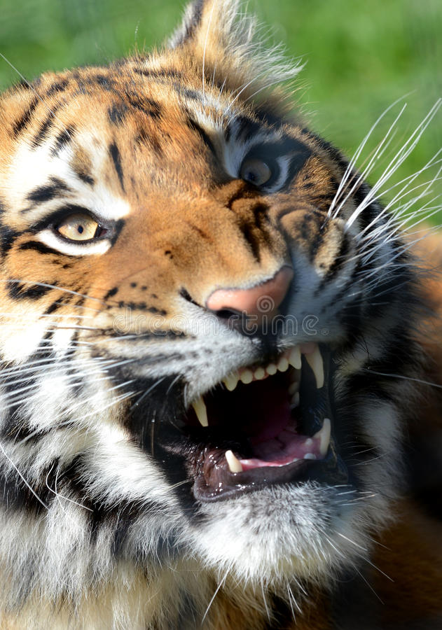 Download Bengal Tiger Snarling stock image. Image of whiskers - 23802391