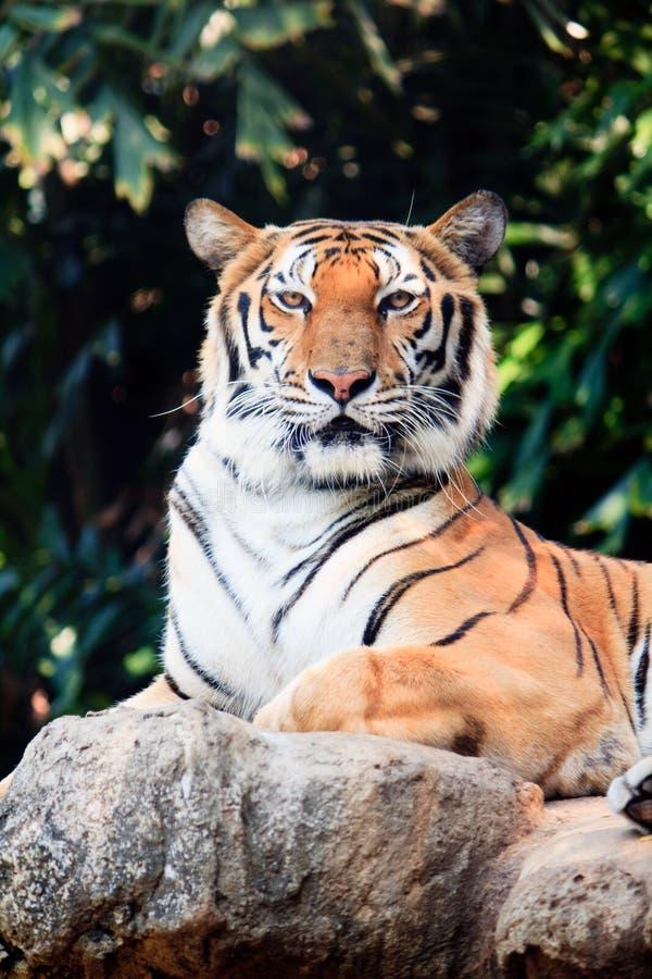 Download Bengal Tiger Staring At Something Stock Photo - Image of sitting, wildlife: 18067604