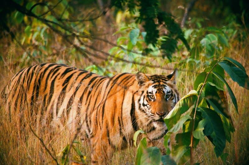 Bengal tiger. S liveing in the national parks rantambor and panna of india royalty free stock photos