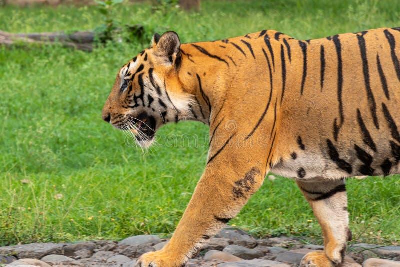 Bengal Tiger walking royalty free stock photos