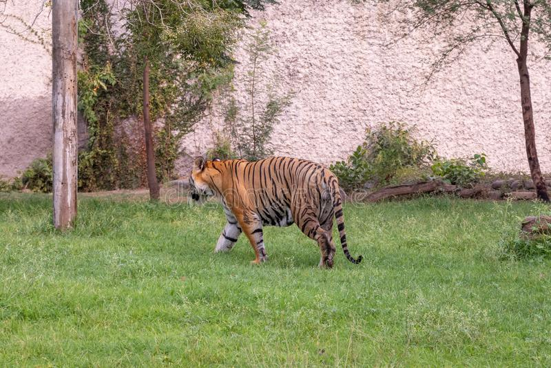 Bengal Tiger Walking on Grass stock photos