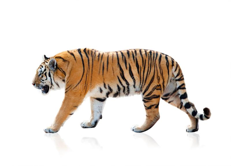 Bengal tiger walking isolated. Bengal tiger walking, isolated over a white background stock photography