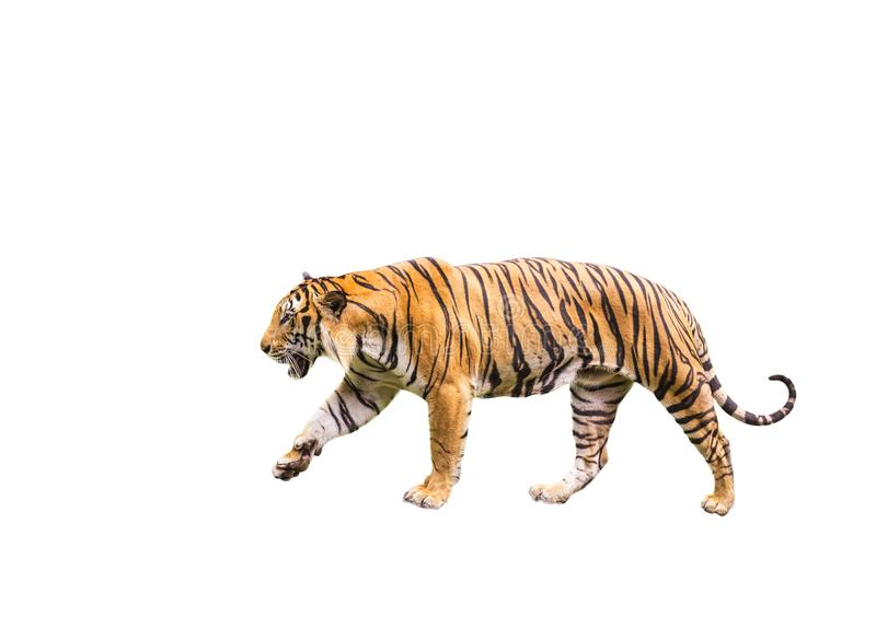Tiger walking isolated on white background. Bengal tiger walking relax isolated on white background royalty free stock photo