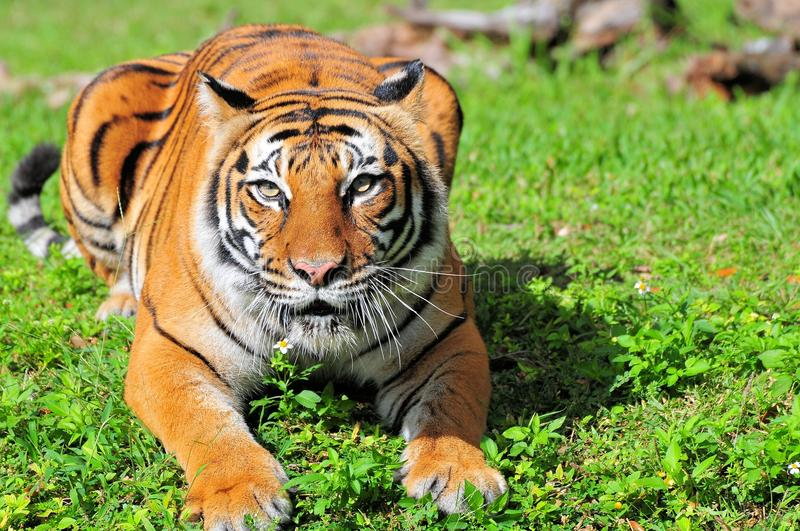 Bengal tiger in zoo watching