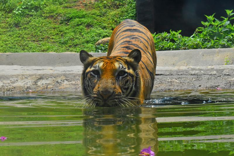 A Bengal Tiger at Zoological Gardens, Dehiwala. Colombo, Sri Lanka.  royalty free stock photo