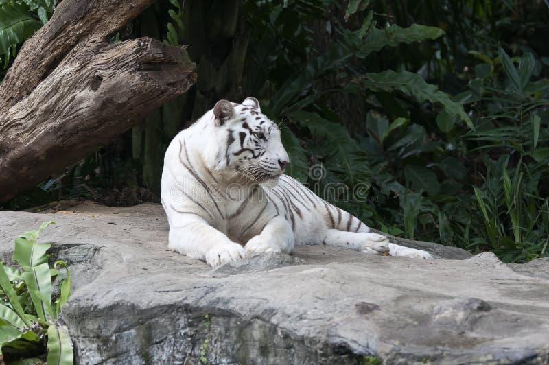 bengal tigerwhite arkivbilder