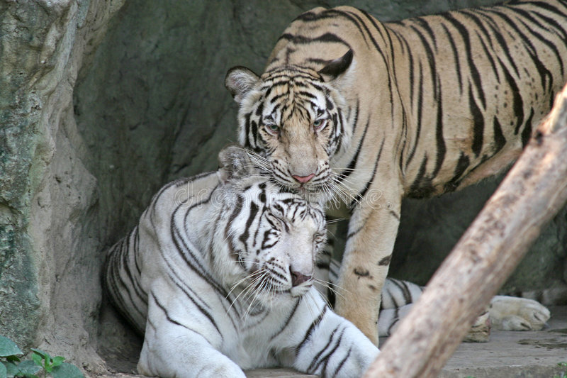 bengal tigrar royaltyfri fotografi