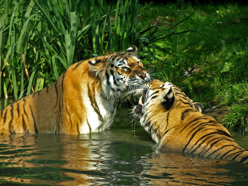 bengal tigrar royaltyfria bilder