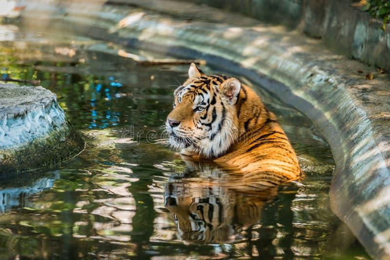 Bengal tigrar fördjupas i vatten royaltyfria bilder