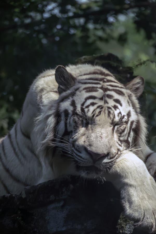 Bengal tigrar som vilar på, vaggar royaltyfri fotografi