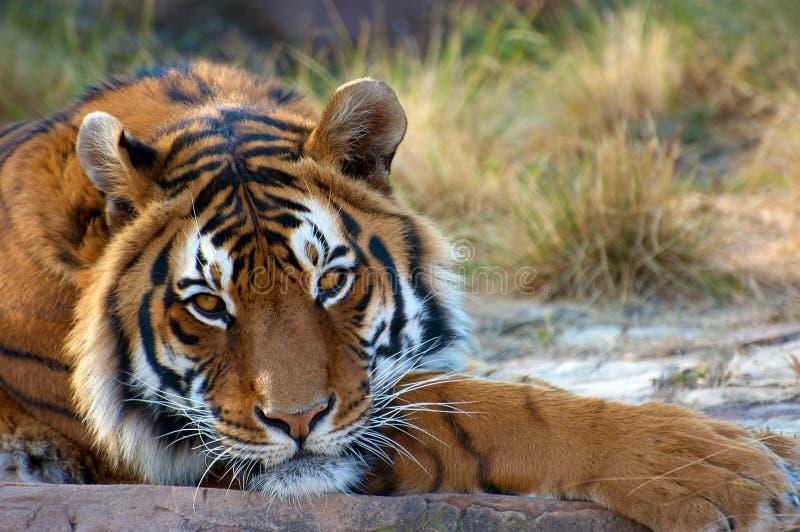 bengal tygrys zdjęcie royalty free