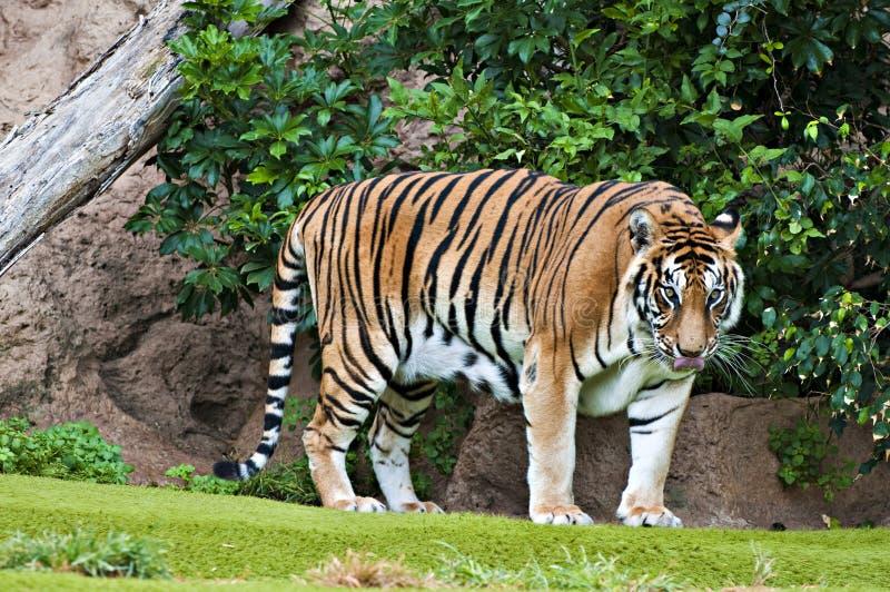 bengal tygrys zdjęcia stock