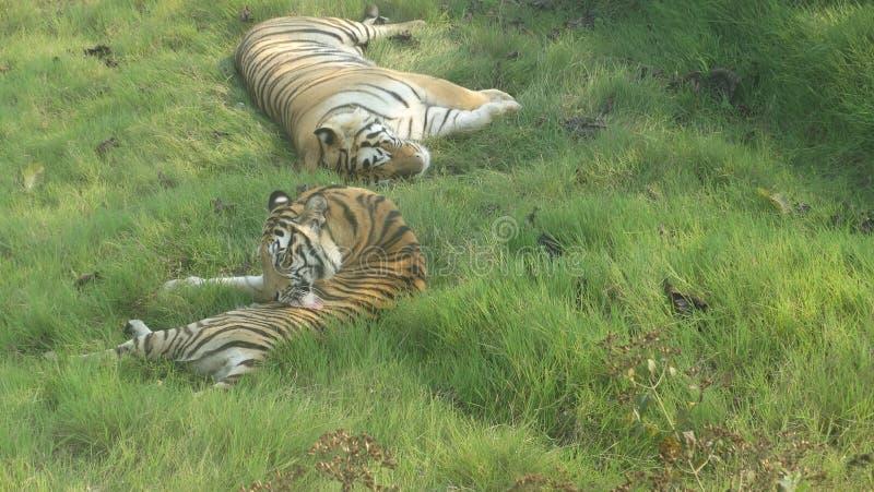 bengal tygrys królewski zdjęcie royalty free