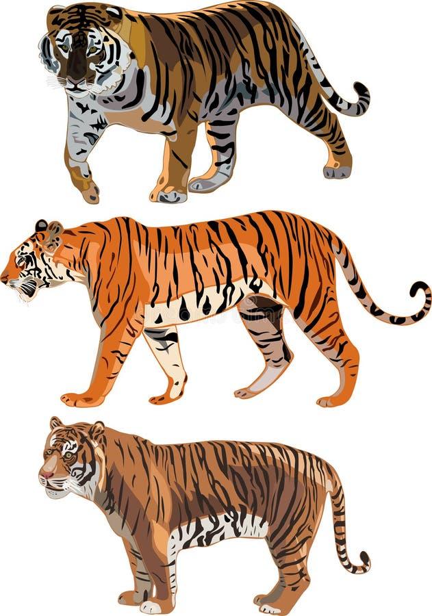 bengal tygrys sumatran tygrys ilustracji