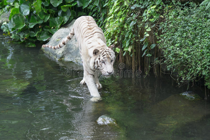 Bengal White Tiger. In Singapore zoological garden entering into water royalty free stock images