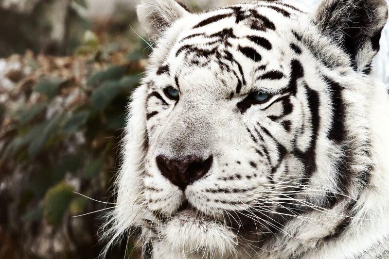 Bengal White Tiger Close Up Panthera tigris tigris. Wildlifen stock photos
