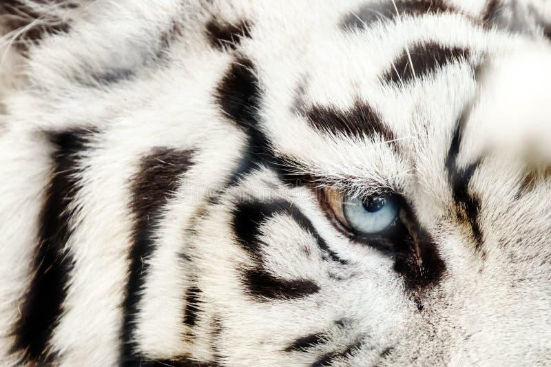 Bengal White Tiger Close Up Panthera tigris tigris. Wildlife royalty free stock photography