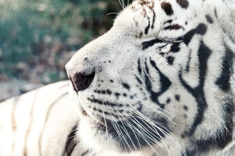 Bengal White Tiger Close Up Panthera tigris tigris. Wildlife royalty free stock images
