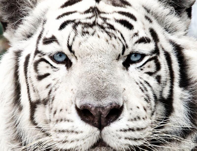 Bengal White Tiger Close Up Panthera tigris tigris royalty free stock images