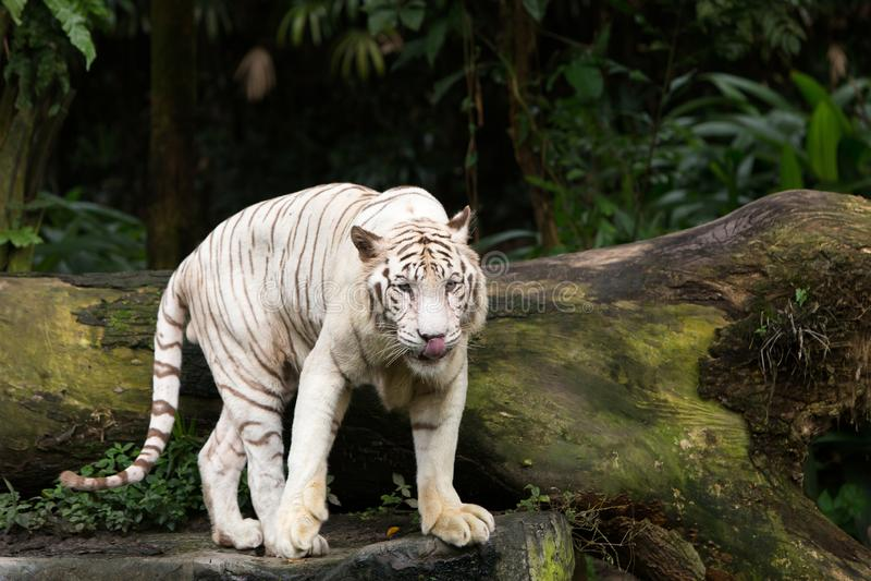 Bengal White Tiger Ferocious Wildlife King of the Jungle royalty free stock photos