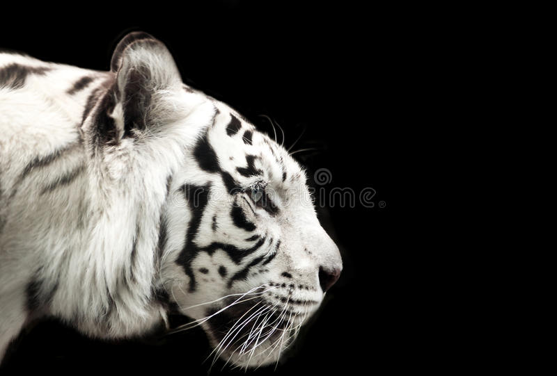 Bengal white tiger. stock photography