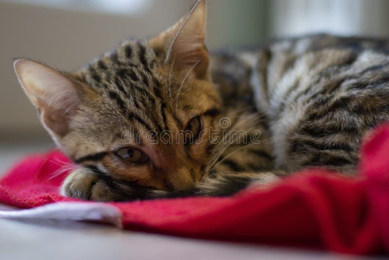 Bengala崽猫 免版税库存图片