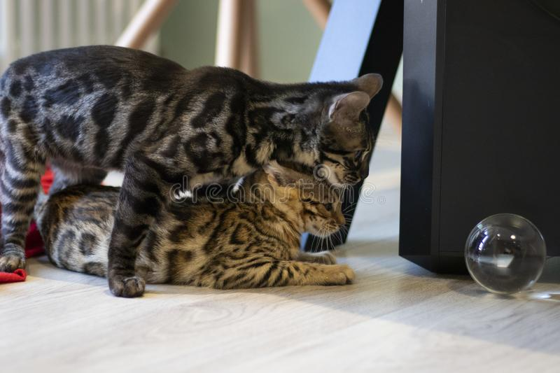 Bengala崽猫 免版税库存照片