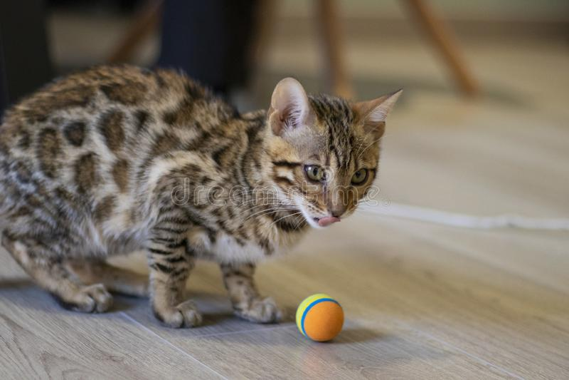 Bengala崽猫 库存图片