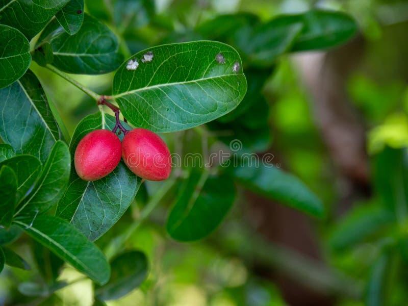 Bengala-Currants, Carandas-plum, Karanda ou Carunda com droplet, ervas tailandesas, frutos tropicais da Ásia na Tailândia, cópia foto de stock royalty free