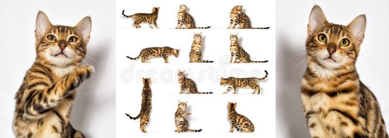 Bengala kitten olha para um branco foto de stock royalty free
