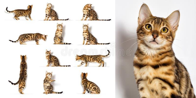 Bengala kitten olha para um branco foto de stock