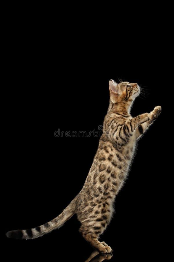 Bengala Kitty Funny Standing en las piernas traseras aisló el fondo negro fotografía de archivo