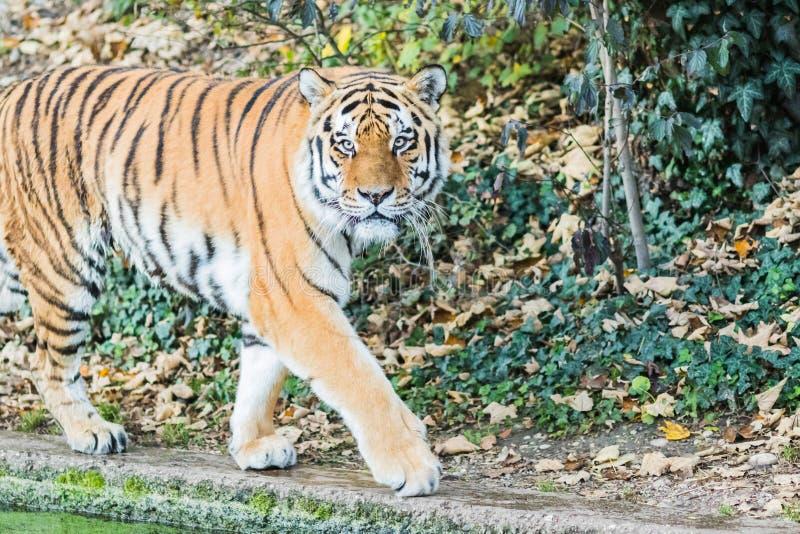 Bengala salvaje Tiger Panthera Tigris Tigris en la selva imágenes de archivo libres de regalías