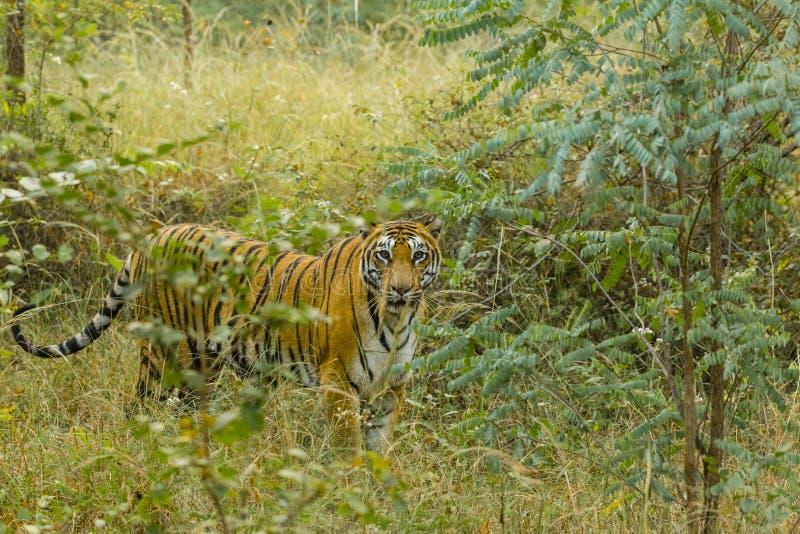 Bengala salvaje Tiger Peering a través de árboles imágenes de archivo libres de regalías
