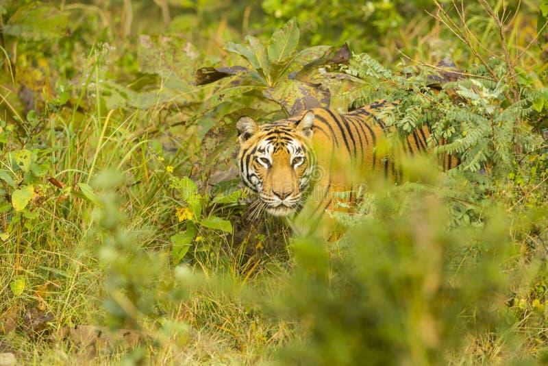 Bengala salvaje Tiger Squinting foto de archivo