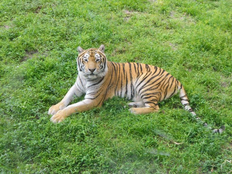 Bengale Tigger resting in the grass stock images