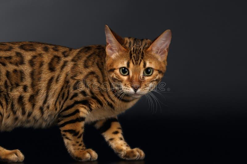 Bengalen Cat Curious Looking in camera op Zwarte royalty-vrije stock afbeelding