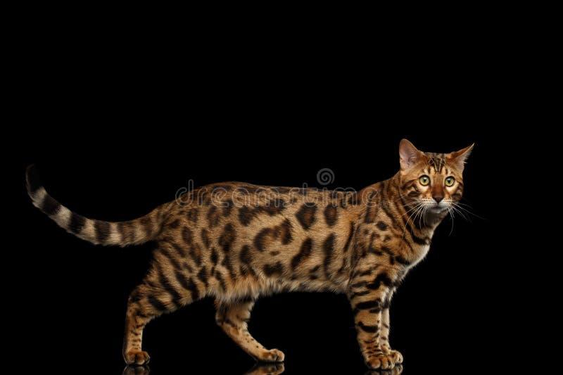 Bengalen Cat Standing op Zwarte Geïsoleerde Achtergrond, die in camera kijken stock afbeeldingen
