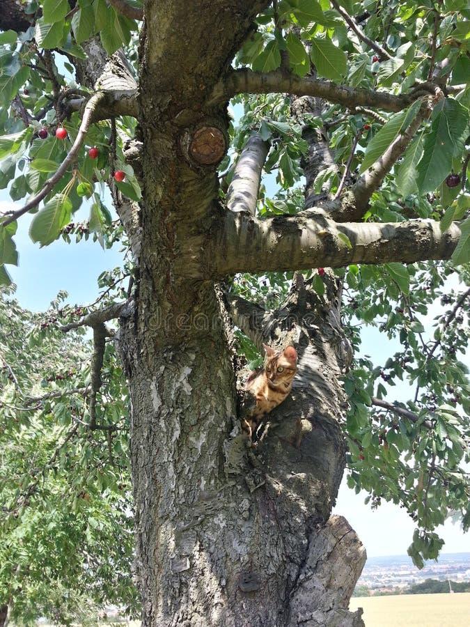 Bengalen in cherrytree stock foto