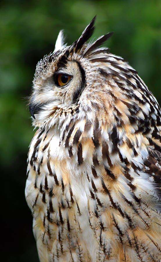 Bengalen Eagle Owl stock foto