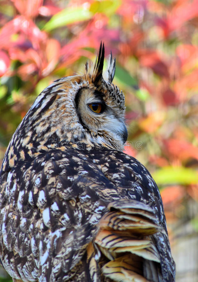 Bengalen Eagle Owl royalty-vrije stock foto's