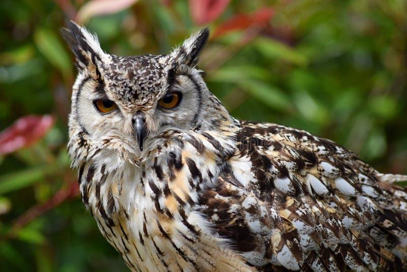 Bengalen Eagle Owl stock foto's